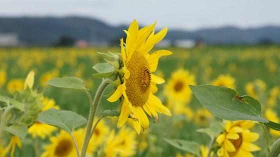 秋の向日葵2010-1